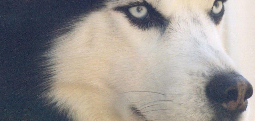 HuskyDog Photo